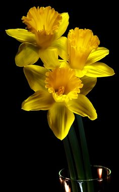 Daffodils of yellow. Love them.  They are happy, happy flowers.