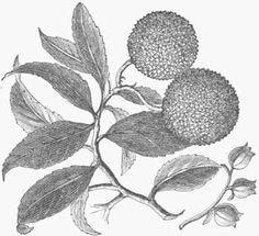 Arbutus unedo, or Strawberry Tree.