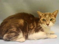 ***SAFE 09/04/16***CANDY IS SWEETER THAN CANDY--LOVELY AND LOVING GIRL NEEDS NEW FRIEND! Isn't eight year old white and brown tabby mix absolutely stunning? This friendly and affectionate girl sadly lost her home when her owner died and no friend or family member offered to help her--. She is kind, gentle and would fit in purrfectly with just about any home. We are not sure if she is used to living with other cats. Please don't let her slip through the cracks of a broken shelter system…