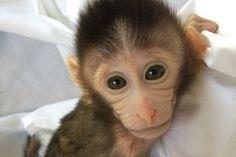 """""""O Grito do Bicho"""": Cientistas criam macacos transgênicos para estudar..."""