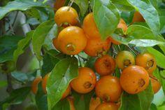 Guabiroba - Campomanesia xanthocarpa