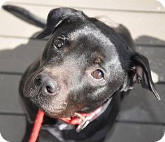 Pit Bull Terrier/American Bulldog Mix Dog for adoption in Dallas, Georgia - Jetta