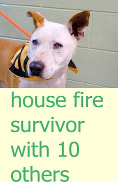 Manhattan Center FUEGO - A1031515 NEUTERED MALE, BROWN / WHITE, GERM SHEPHERD MIX, 6 yrs STRAY - ONHOLDHERE, HOLD FOR DISASTER Reason FIRE Intake condition UNSPECIFIE Intake Date 03/28/2015 https://www.facebook.com/photo.php?fbid=985018261511053