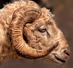 Battle Worn Ram phot