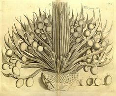 Illustration from the stunning Hortus Malabaricus (Garden of Malabar), an epic treatise dealing with the medicinal properties of the flora in the Indian state of Kerala. Originally written in Latin, it was compiled over a period of nearly 30 years and published in Amsterdam between 1678 and 1693.
