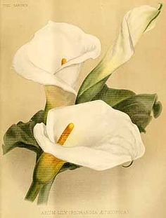 200338 Zantedeschia aethiopica (L.) Sprengel [as Richardia aethiopica (L.) Sprengel] / The garden. An illustrated weekly journal of horticulture in all its branches [ed. William Robinson], vol. Calla Lillies, Calla Lily, Lilies, Zantedeschia Aethiopica, Canvas Painting Projects, Floral Drawing, Plant Painting, Rock Painting Designs, Nature Tattoos