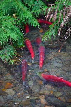 Sockeye Salmon and Cedar Boughs along Adams River