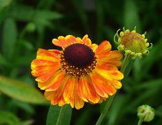 Helenium 'Mardi Gras' (Sneezeweed)