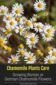Your garden will appreciate the addition of Chamomile plants and their fresh flowers that benefit other plants growing near them, plus they are beautiful! [CARE DETAILS]