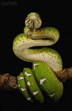 Emerald Tree Boa - Amazon, Ecuador