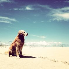 Golden Retriever on the beach.  I promised that when we move to the beach Chris can get his golden!  Lucky puppy!