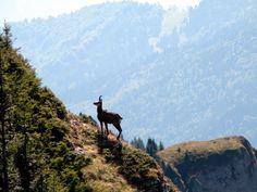 Capra neagra pe Ceahlau Giraffe, Beautiful Places, Mountains, Google Search, World, Nature, Animals, Romania, Love