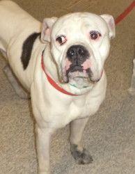 12-041 (12/11/12) is an adoptable American Bulldog Dog in Akron, OH. Adopting a friend~ Dogs (and puppies) are $ 90.00 : $ 76.00 for the adoption / $ 14.00 for the licenses Cats (and Kittens) are $60....
