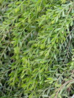 Acacia howittii 'Green Wave' x Hello Hello Plants, Low Growing Shrubs, Australian Garden, Plant Information, Plant Sale, Types Of Plants, Garden Supplies, Native Plants, Acacia