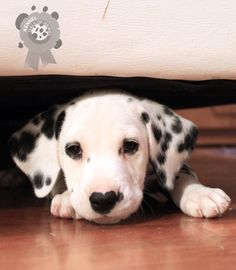This puppy has a heart shaped nose button!! Everyone who has a Dalmatian sees patterns in the spots. We all think each other's dogs are spotted funny LOL