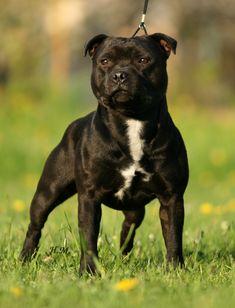 English Staffordshire Bull Terrier, Pitbull Terrier, Bull Terriers, Pit Dog, Mountain Dogs, Bernese Mountain, Pitt Bulls, Labrador Retriever Dog, Dog Training