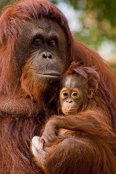 Something about Orangutan's just makes me smile