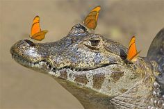 10/2/12: butterflies land on the snout of a caiman in Brazil. The reptile tried to shake off its uninvited guests, but tey wouldn't budge until it slid under water. (c Alexandra Sailer/Caters News)