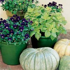 Moody purples with lime - Various shades of green pots, purple flowered Johnny-jump-ups and coleus.  Pair the plantings with light colored pumpkins.