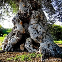 ULIVO - TREE - ALBERO - PUGLIA - BRINDISI - BORGO EGNAZIA by Francesco Archinà & Aurora, via Flickr Art Et Nature, Nature Tree, Weird Trees, Twisted Tree, Unique Trees, Old Trees, Tree Roots, Unusual Plants, Tree Trunks