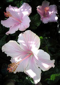 hibiscus, plants