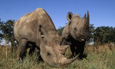 South Africa's rhino poaching trends show a slight decrease—but death toll remains too high