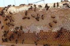 honingraat met bijen Bee Keeping
