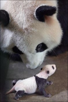 Gallery Black and white animals: A panda approaches her four week-old cub. Hard to believe that this itty bitty baby will become a mega critter like his mama panda when he's all grown up.