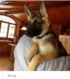 """GSD Puppy~ """"I may be big, but I'm still a baby!"""" (GSD will ALWAYS be your baby!)"""