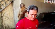 """""""O Grito do Bicho"""": Macaco """"embriagado"""" que ameaçou moradores na Paraí..."""