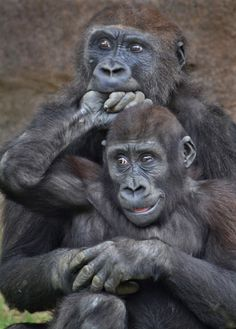You can see the playfulness and close bond in this shot of these gorillas. Flickr