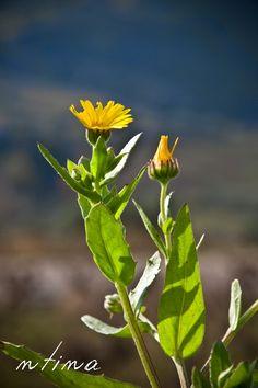 Simple Minds, Calendula, Vegetable Garden, Beauty Hacks, Beauty Tips, Herbalism, Dog Cat, Health, Plants