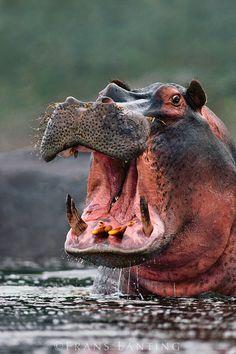 Africa | Hippo threatening, Hippopotamus amphibius, Linyanti Swamp, Botswana  | ©Frans Lanting