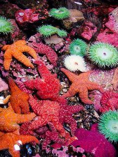 Starfish and sea anemone off he Oregon coast Underwater Creatures, Underwater Life, Ocean Creatures, Beautiful Sea Creatures, Animals Beautiful, Water Animals, Sea And Ocean, Sea World, Tropical Fish
