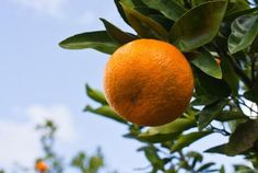 Orange on an orange tree - Pam McLean/Photographer's Choice RF/Getty Images