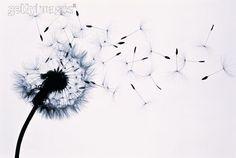 Dandelion (Taraxacum officinale) seed head blowing in wind