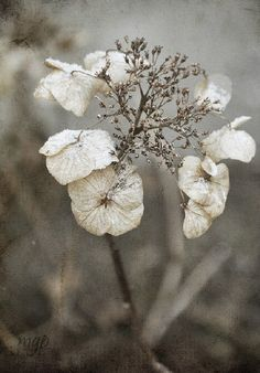 winter garden by mariegradypalcic on Etsy Foto Macro, Seed Pods, Shades Of White, Gras, Winter Garden, Fine Art Photography, Hydrangea, Beautiful Flowers, Inspiration