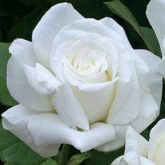 Pure White Hybrid Tea Rose | Pope John Paul II Hybrid Tea Rose