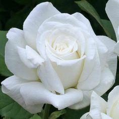 Pure White Hybrid Tea Rose | Pope John Paul II Hybrid Tea Rose