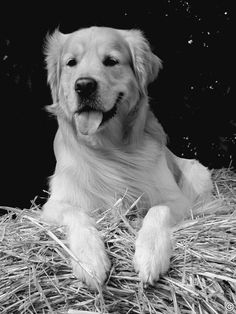 Golden Retriever - Enko