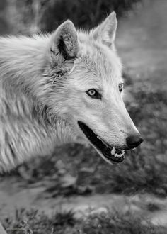 Gray Wolf By LeeAnn McLaneGoetz McLaneGoetzStudioLLC.com  The Gray Wolf also known as the timber wolf or western wolf, is a canine native to the wilderness and remote areas of North America. Toledo Ohio Zoo  #wolf,#Timber Wolf
