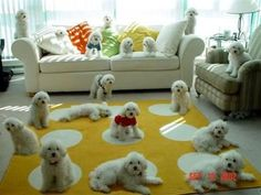 That's a LOT of Bichons!