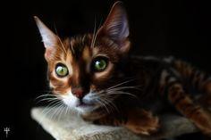 Fractalius Cat - Loki by Sand-Rae