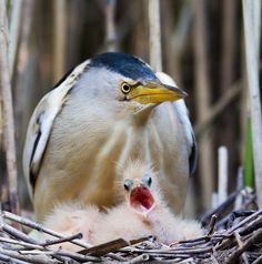 Alex Levashkin - That baby bird… Алексей Левашкин — «Малая выпь кормит птенцов» на Яндекс.Фотках