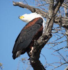 Fish Eagle Kruger National Park