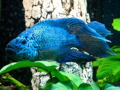 Male Electric Blue Jack Dempsey