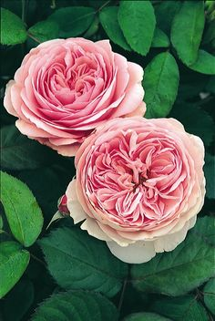 ~Rosa 'Geoff Hamilton' has perfect, antique pink blooms, another one is Souvenir Mal Maison!