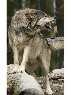 It's a man's world - The wolf and man have a lot in common. If you attack, he defends himself. Wolf Photos, Wolf Pictures, Beautiful Wolves, Animals Beautiful, Nature Animals, Animals And Pets, Wild Animals, Baby Animals, Tier Wolf