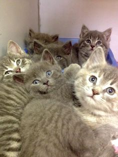 ADOPTED! 4 STILL AVAILABLE! AVAILABLE NOW! LITTER OF 6 GREY KITTENS!!  https://www.facebook.com/267166810020812/photos/a.537640466306777.1073741924.267166810020812/719892691414886/?type=1&theater