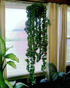 Full size picture of Hoya, Wax Plant, Hindu Rope, Indian Rope, Angel Rope, Porcelain Flower 'Krinkle Kurl' (<i>Hoya compacta</i>)